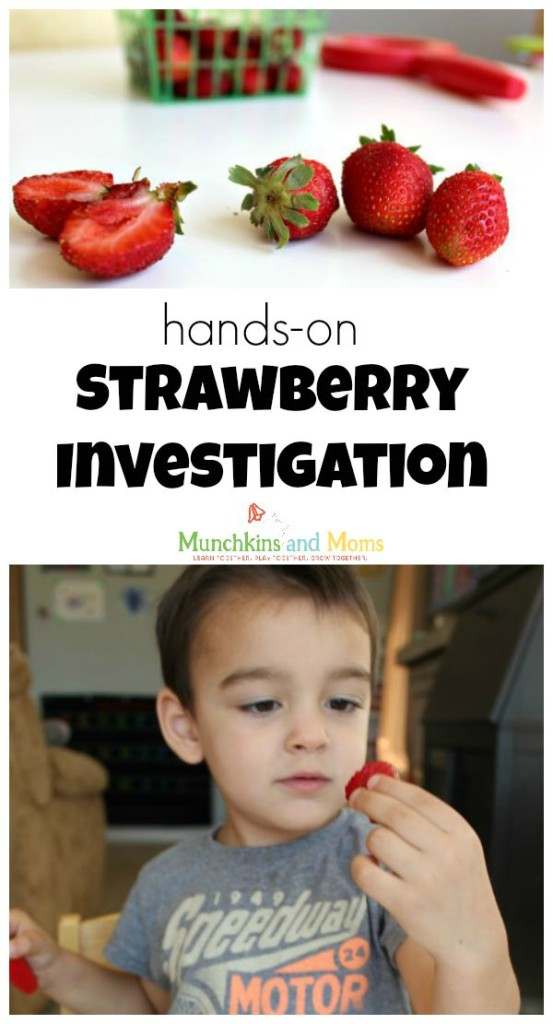 Hands-on strawberry investigation for preschoolers- find out where the seeds REALLY are!